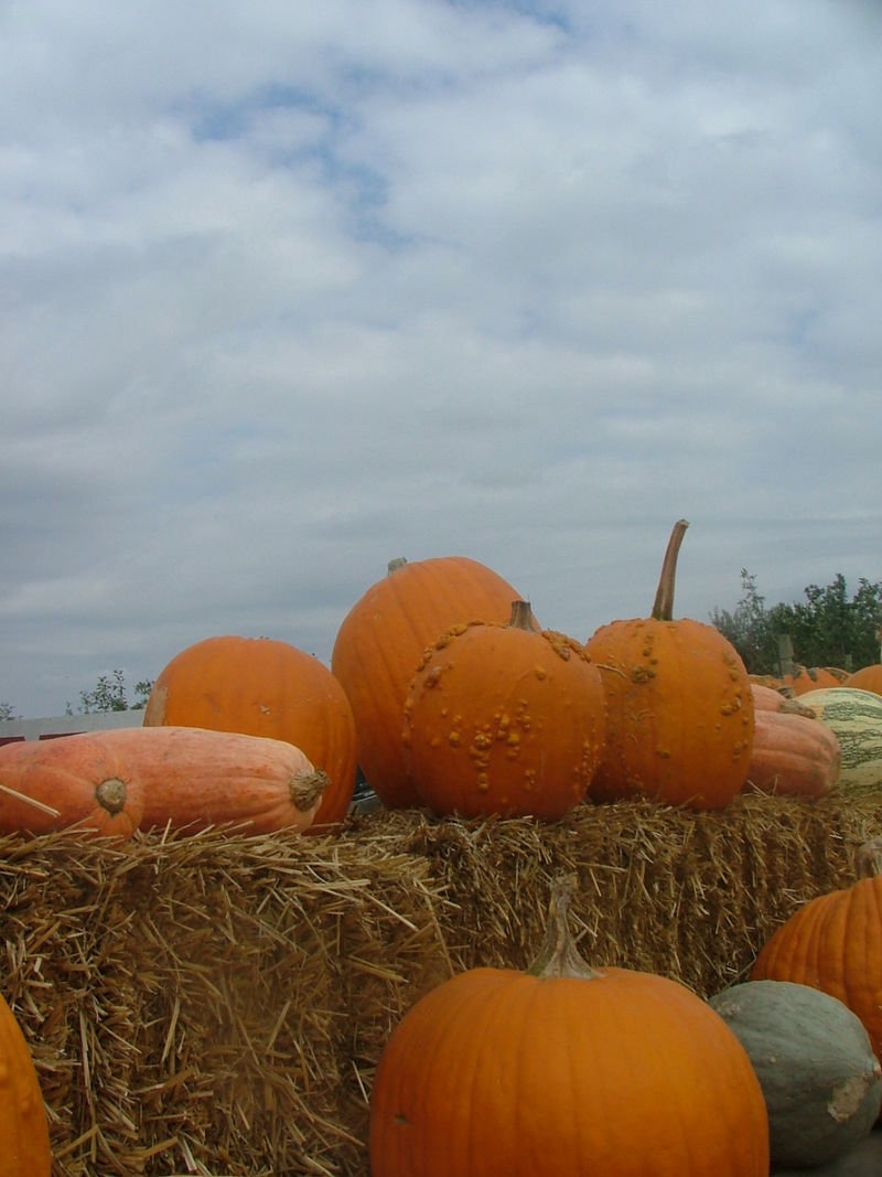 Pumpkin Picking 2008 018