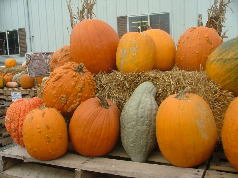 Pumpkin Picking 2008 019
